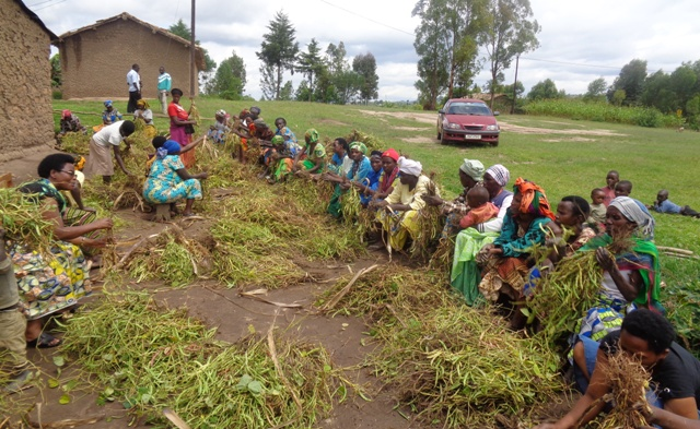 Shalom members helping Genocide  survivors to harvest their crops as the way of healing their wounds,reconciliation,unity,peacebuilding and reconciliation